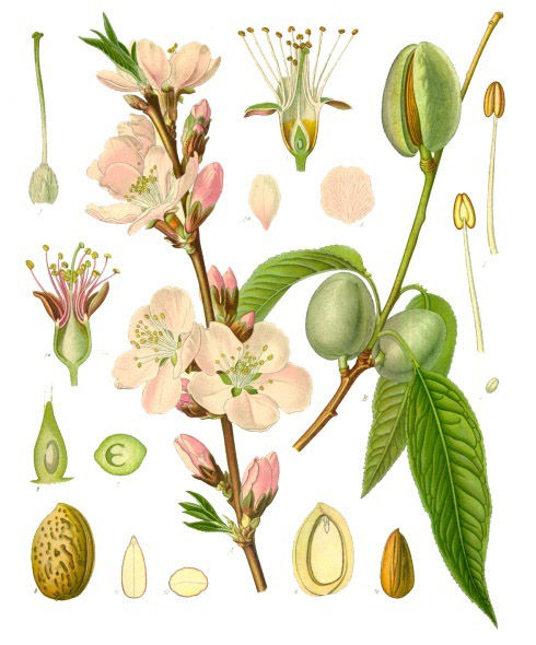 Plant-illustration-of-Almond