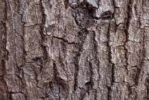 Bark-of-Almond-tree