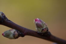 Flower-bud-of-Almond