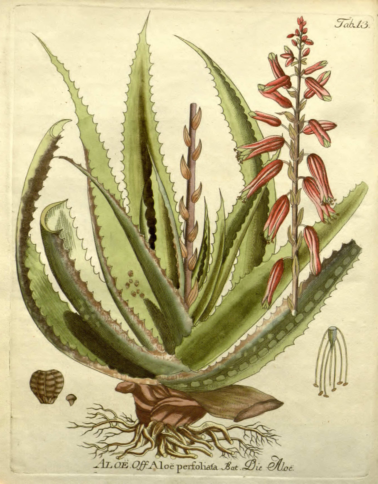 Aloe-vera-illustration