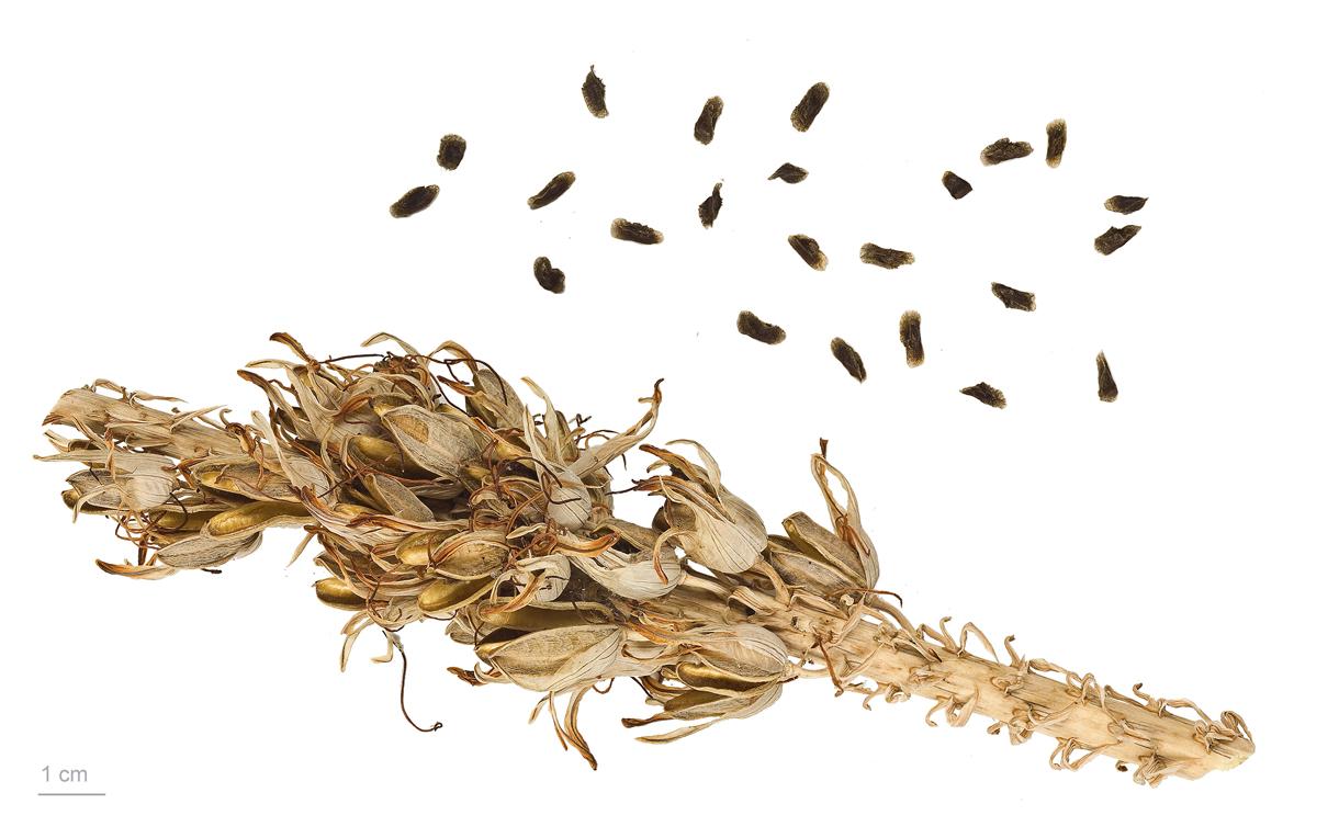 Aloe-vera-seeds