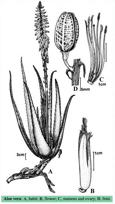 Drawing-of-Aloe-vera