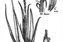 Drawing-of-Aloe-vera