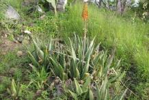Aloe-vera-flower