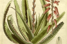 Aloe-vera-illustration