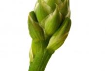 Flower-bud-of-Aloe-vera