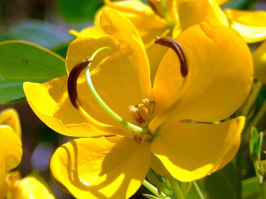 Closer-view-of-flower-of-Cassia-Fistula