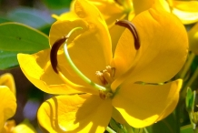 Closer-view-of-flower-of-Cassia-Fistula