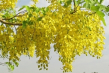 Flowers-of-Amaltas