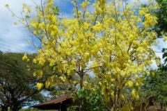 Amaltas-Plant