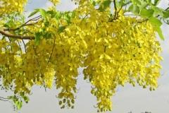 Flowers-of-Amaltas