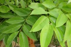 Leaves-of-Amaltas