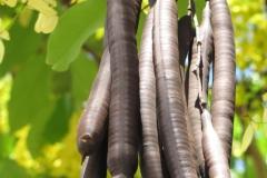Mature-Amaltas-fruits