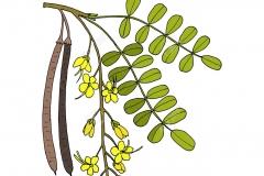 Plant-Illustration-of-Amaltas