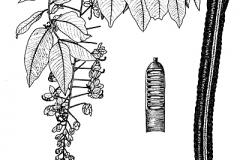Sketch-of-Amaltas