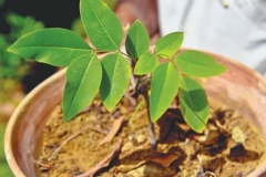 Small-Amaltas-plant