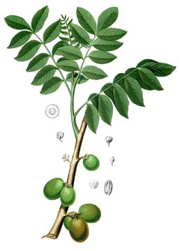 Plant-Illustration-of-Ambarella