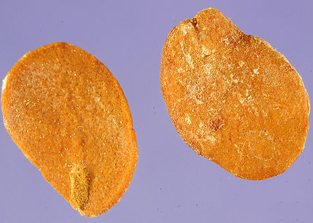 Seeds-of-Ambarella