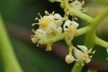 Closer-view-of-Ambarella-Flower