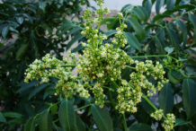 Flower-of-Ambarella