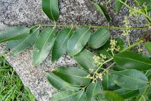 Leaves-of-Ambarella