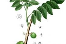 Plant-Illustration-of-Ambarella