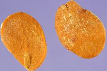 Seeds-of-Ambarella