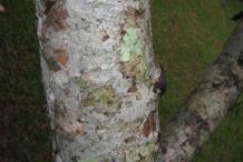 Trunk-of-Ambarella-tree