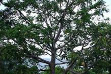 Ambarella-Plant