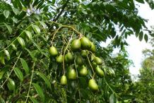 Unripe-Ambarella-fruit