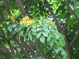 Branches-of-Amboyna-plant