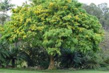 Amboyna-wood-plant