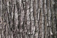 Bark-of-Amboyna-wood