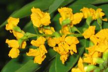Flower-of-Amboyna-wood