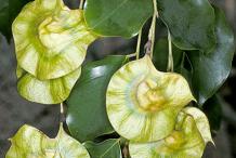 Fruit-of-Amboyna-wood