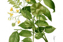 Plant-Illustration-of-Amboyna-wood