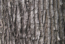 Bark-of-Amboyna-wood