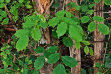 Leaves-of-Amboyna-wood