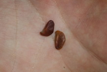 Seeds-of-Amboyna-wood