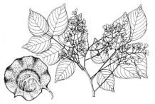 Sketch-of-the-Amboyna-wood-plant