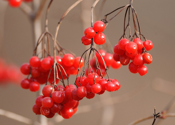 Bunch-of-American-Cranberry-fruit