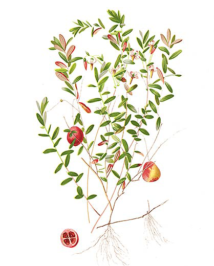 Plant-illustration-of-American-Cranberry