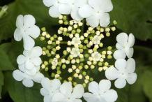 American-Cranberry-Flower