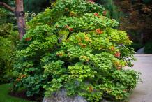 American-Cranberry-plant