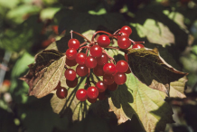 Ripe-American-Cranberry-fruit-on-the-tree