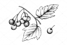 Sketch-of-American-Cranberry