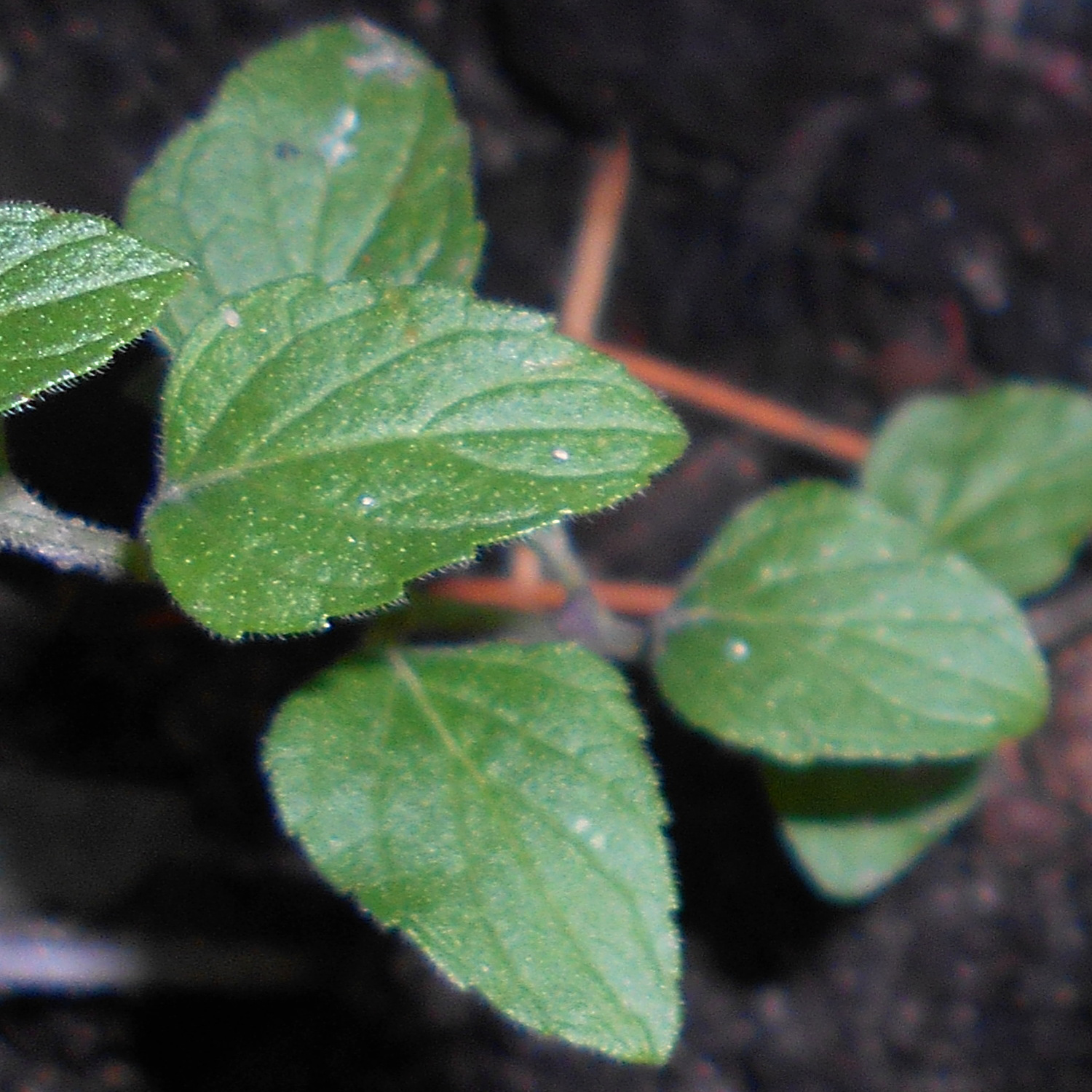 American-pennyroyal-leaves
