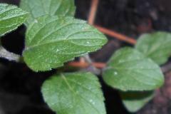American-pennyroyal-leaves
