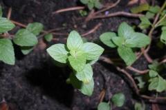 American-pennyroyal-seedling