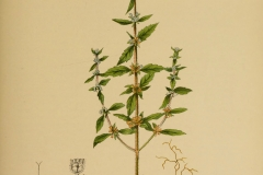 Plant-illustration-of-American-pennyroyal